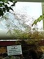 Adiantum raddianum - Botanischer Garten München-Nymphenburg - DSC08177.JPG