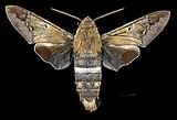 Aellopos tantalus MHNT CUT 2010 0 273 San Blas, Nayarit, Mexico male dorsal.jpg