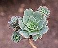 Aeonium percarneum in Botanischer Garten Muenster (2).jpg