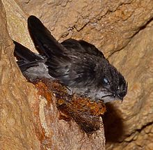 Swiftlet Nest