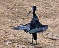 African Openbill (Anastomus lamelligerus) (12027576275), crop.jpg