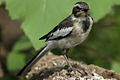 African Pied Wagtail, Motacilla aguimp in Kruger National Park (13850233655).jpg