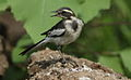 African Pied Wagtail, Motacilla aguimp in Kruger National Park (13850244963).jpg