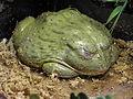 African bullfrog.jpg