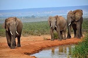 African elephant (Addo) 20.jpg