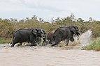 African elephants, Lake St Lucia 03.jpg
