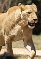 African lion, Panthera leo feeding at Krugersdorp Game Park, South Africa (29444154083).jpg