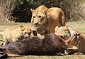 African lion, Panthera leo feeding at Krugersdorp Game Park, South Africa (30071085655).jpg