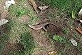 Agama femelle ponte d'œufs 05.jpg