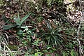 Agave potatorum (Asparagaceae) and Hechtia podantha (Bromeliaceae) (25539559905).jpg