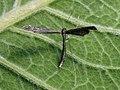 Agdistis adactyla - Пальцекрылка цельнокрылая (40478502994).jpg