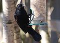 Agelaius phoeniceus -George C Reifel Migratory Bird Sanctuary, British Columbia, Canada -male-8.jpg