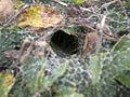 Agelenidae sp. web (5033351839).jpg