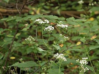 Ageratina altissima SCA-5482.jpg