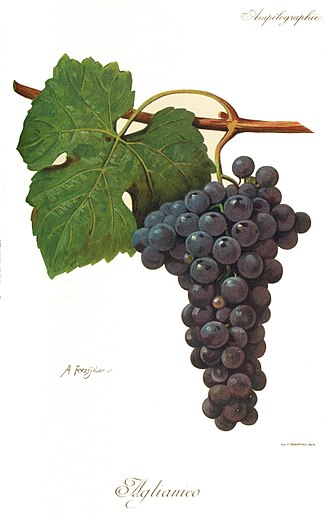 Aglianico - Illustration of Aglianico grape