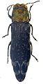 Agrilus trepanatus holotype - ZooKeys-256-035-g002-14.jpeg