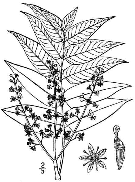 File:Ailanthus altissima drawing.png