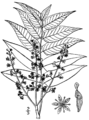 Ailanthus altissima drawing.png