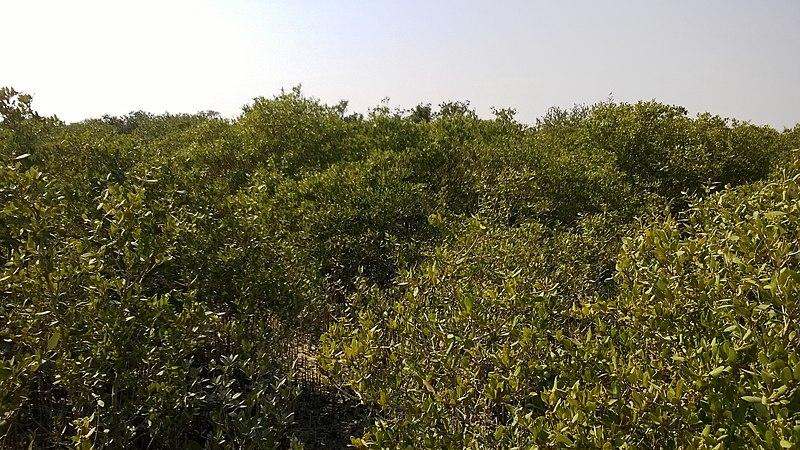File:Al khore Mangrove forest (Purpule Island) - panoramio (7).jpg
