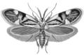 Alabonia geoffrella Haeckel.png