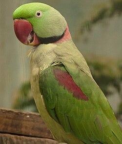 Alexandrine Parakeet (Psittacula eupatria), Jurong Bird Park, Singapore - 20090613.jpg