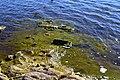 Algae at Hawley Lake.jpg