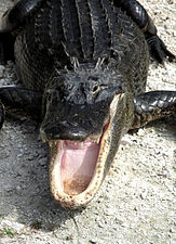 Alligator mississippiensis yawn 2.jpg