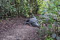 Alligator on my path in everglades creates dead end (22397612283).jpg