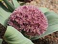 Allium akaka-IMG 2181.jpg