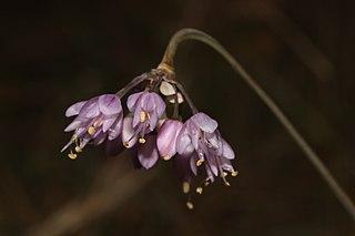 <i>Allium cernuum</i> species of plant