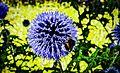Allium giganteum (Riesenlauch) mit Hummel (9655745762).jpg