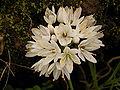 Allium roseum (Barlovento) 02.jpg