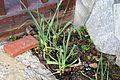 Allium sativum 2 2014-03-28.jpg