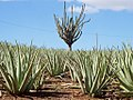 Aloe Vera farm, Curaçao (23836813580).jpg