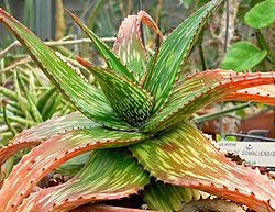 Aloesta saadaan rohtoja ja luonnonkosmetiikkaa