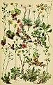 Alpenflora; die verbreitetsten Alpenpflanzen von Bayern, Österreich und der Schweiz (1922) (17488859713).jpg