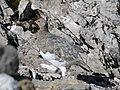 Alpenschneehuhn auf der Totalpe, Lagopus muta 1.JPG