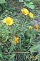 Alpine flora (Gru) (37852318302).jpg