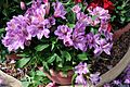 Alstroemeria pelegrina Peruvian Lily ალსტრომერია.jpg