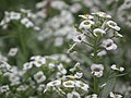 Alyssum or Lobularia maritima from Lalbagh flower show Aug 2013 8197.JPG