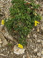 Alyssum ovirense PID1481-3.jpg