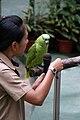 Amazona auropalliata -Kuala Lumpur Bird Park-8a.jpg