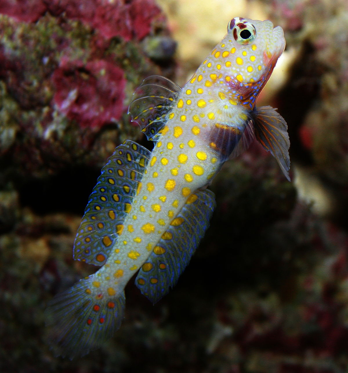 Spotted prawn goby wikipedia for Saltwater goby fish
