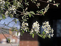 Amelanchier canadensis 1480044.jpg