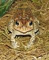 American Toad Image 005.jpg