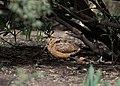 American woodcock in Bryant Park (92770).jpg