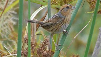 Nelson's sparrow - At Riverlands Migratory Bird Sanctuary, Missouri, United States