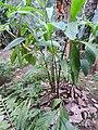 Amomum subulatum-3-JNTBGRI-kerala-India.jpg