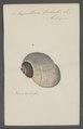 Ampullaria fasciata - - Print - Iconographia Zoologica - Special Collections University of Amsterdam - UBAINV0274 083 02 0008.tif