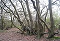 An arboreal oddity, Barnet Gate Wood - geograph.org.uk - 2360818.jpg